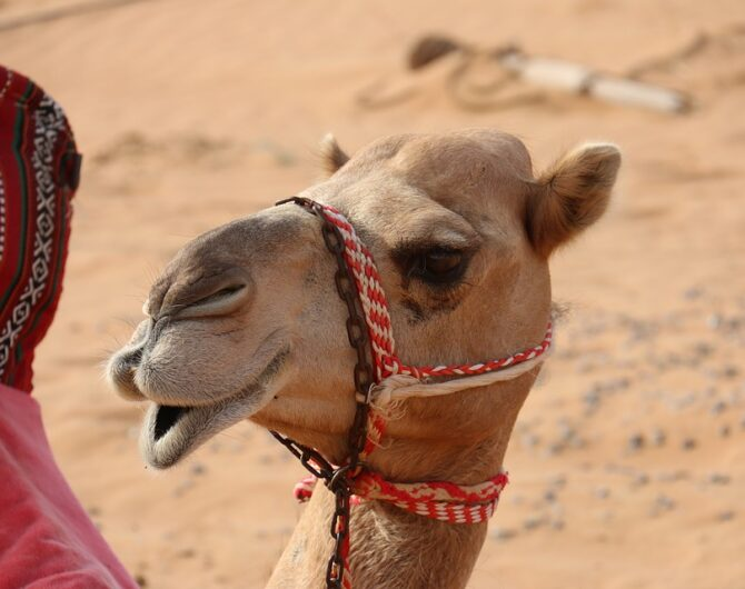 camel-2667153_960_720