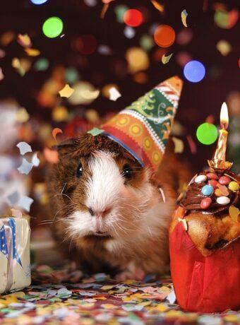 guinea-pig-1969698_960_720